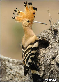 Hoopoe at nest hole - Richard Brooks (rspb-images.com)