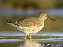 Redshank feeding in shallow water - Chris Gomersall (rspb-images.com)
