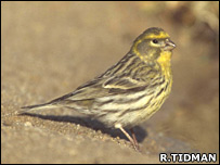 Serin, male, drinking at pool - Roger Tidman (rspb-images.com)