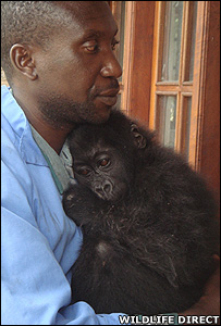 Orphaned lowland gorilla Mapendo (Image: WildlifeDirect)