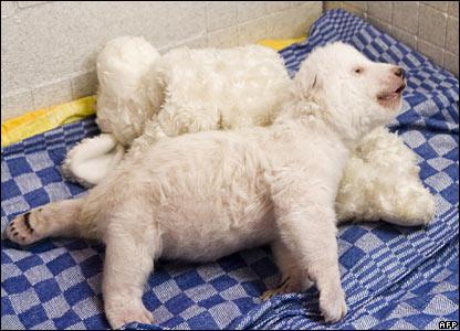 Nuremberg polar bear cub