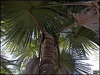 Гигантская пальма