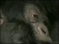 Munyaga family gorilla