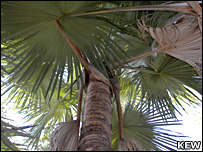 Leaves of the Madagascar palm (Kew)