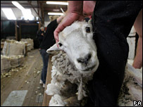 A sheep being sheared (file image)