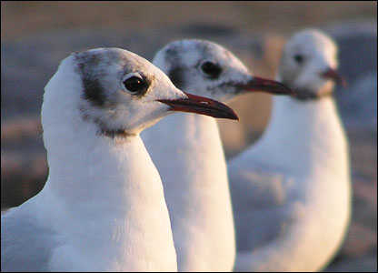 These seagulls were captured on Llantwit Major beach by Andrew Knifton from Cardiff.