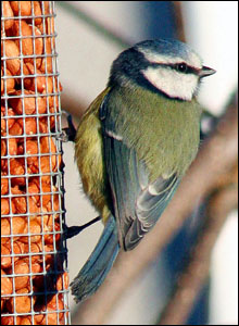 Philip J Sims took this picture of a blue tit in his back garden in Gilwern.