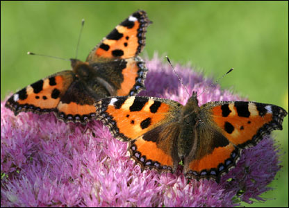 Vicky, from Aberystwyth, also sent us this picture of small tortoiseshell butterflies in Ceredigion.