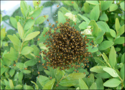 Derrick Jones discovered this ball of hundreds of baby spiders at the centre of a spider's web in his garden in Brecon, Powys.