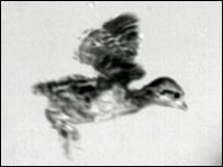 Chick in descent