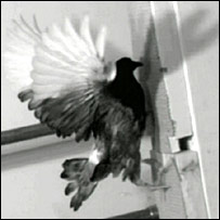 Bird in flight (University of Minnesota)