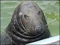 Magnus the seal at Gweek