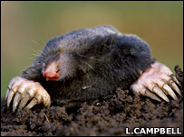 Mole in a tunnel (L.Campbell)