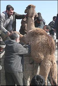 Palestinos intentan cruzar un camello por la frontera.