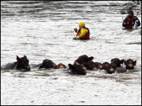Cattle rescue [Pic: Peter Jolly]