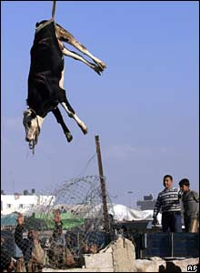 A crane carries a cow from the Egyptian side of Rafah to the Gaza Strip over the border wall