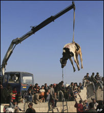 A crane carries a cow from the Egyptian side of Rafah to the Gaza Strip