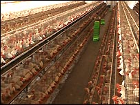 Chickens in cages in Indian egg farm