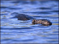 Beaver swimming (Picture: Niall Benvie)
