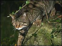 Scottish wildcat (Picture: Neville Buck)