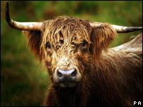 Highland cow (Image: PA)