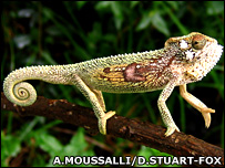 Male Transvaal dwarf chameleon in display posture (A.Moussalli/D.Stuart-Fox)
