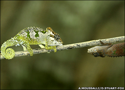 Chameleons in contest (A.Moussalli/D.Stuart Fox)
