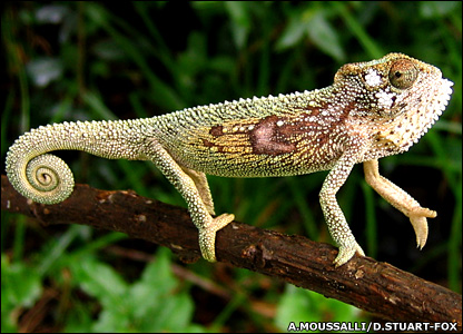 Chameleon displaying (A.Moussalli/D.Stuart Fox)