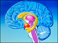 Brain, highlighting the limbic system