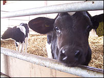Calves on Worthy Farm