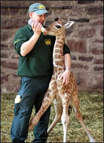 Margaret the giraffe being fed by a keeper