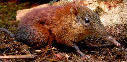 Giant Elephant Shrew - Police Discovery