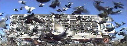Pigeon race in Sun City