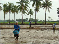 Rice farmers planting seeds