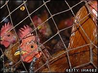 Chickens in Bangladesh