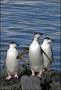 Chinstrap penguins (BBC)