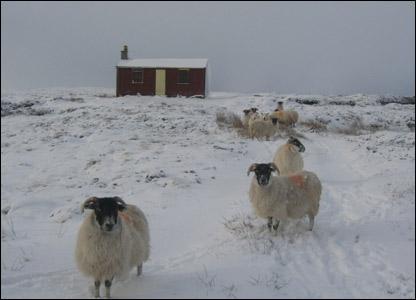 Sheep on Lewis Moor