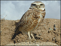 Mexican burrowing owl