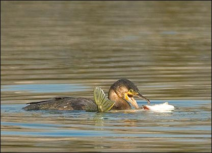 Cormorant, pic by Stewart Canham