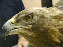 Electra the eagle