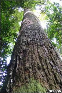 Moabi tree (Image: John Nelson/Forest Peoples Programme)