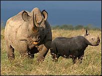 A black rhinoceros and her calf born Dec 2007 at Ol Pejeta Conservancy, Nanyukii, Kenya