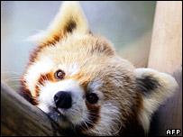 Red panda - generic