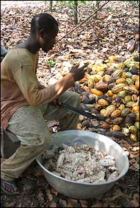 A man works on cutting open cocoa pods