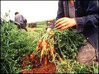 Migrant vegetable pickers