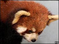 A red panda cub
