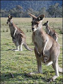 Kangaroo's in Australia