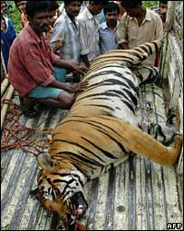 File photograph of a dead tiger in India