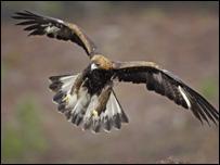 Golden eagle. (Pic: M Hamblin/RSPB Images