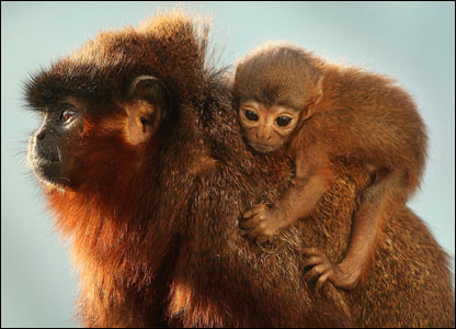 A baby Red Titi monkey and its father in London Zoo, England (13/02/2008)
